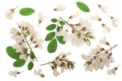 Kwitnący akaci z liśćmi odizolowywającymi na białym tle, Akacjowi kwiaty, grochodrzewu pseudoacacia Biała akacja obrazy stock