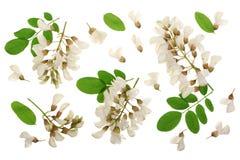Kwitnący akaci z liśćmi odizolowywającymi na białym tle, Akacjowi kwiaty, grochodrzewu pseudoacacia Biała akacja zdjęcie royalty free