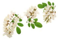 Kwitnący akaci z liśćmi odizolowywającymi na białym tle, Akacjowi kwiaty, grochodrzewu pseudoacacia Biała akacja zdjęcia stock