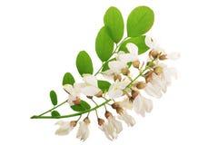 Kwitnący akaci z liśćmi odizolowywającymi na białym tle, Akacjowi kwiaty, grochodrzewu pseudoacacia Biała akacja fotografia stock