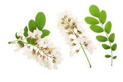 Kwitnący akaci z liśćmi odizolowywającymi na białym tle, Akacjowi kwiaty, grochodrzewu pseudoacacia Biała akacja obrazy royalty free