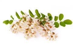Kwitnący akacji z liśćmi odizolowywającymi na białym tle, czarnym fotografia royalty free