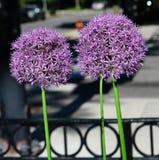 Kwitnący Alliums obraz royalty free