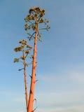 Kwitnący aloes agawę Americana Zdjęcie Stock