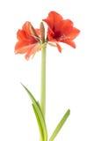 Kwitnący amarylek fotografia stock