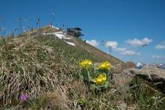 Kwitnący auriculas przy fellhorn halnym szczytem, allgau alps zdjęcie royalty free