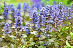 Kwitnący błękitni bugleweeds - Ajuga w lato łące Zdjęcie Royalty Free