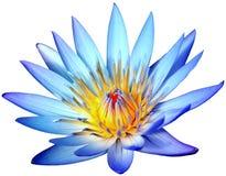 Kwitnący błękitny lotosowy kwiat odizolowywający na białym tle Fotografia Stock