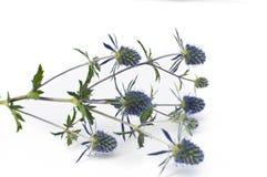 kwitnący błękitny oset Fotografia Royalty Free