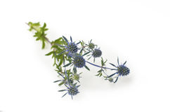 kwitnący błękitny oset Obrazy Stock