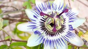 Kwitnący błękitny Pasyjny kwiat Piękny Passiflora caerulea zbiory