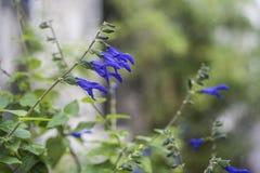 Kwitnący błękitny szczura ogonu kwiat obrazy royalty free