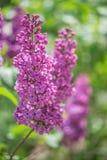 Kwitnący bez kwitnie w ogródzie obraz stock