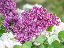 Kwitnący bez kwitnie w ogródzie fotografia royalty free
