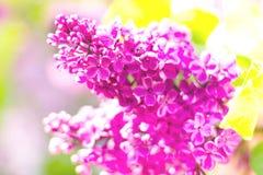 Kwitnący bez kwitnie z liśćmi makro- fotografii zakończenie up obrazy stock