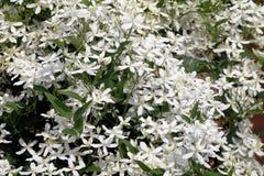 Kwitnący biały clematis Zdjęcia Stock