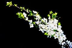 Kwitnący biały czereśniowy drzewo w wiośnie Fotografia Stock