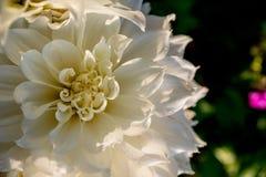 Kwitnący biały dalia kwiat w ogródzie z kopii przestrzenią Piękne kwitnące białe dalie Selekcyjna ostrość shalna obraz royalty free