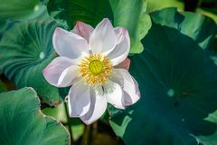Kwitnący biały Dziki Lotosowy kwiat, Ubud, Bali wyspa, Indonezja obrazy royalty free