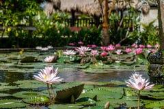 Kwitnący biały i różowy Wodny Lilly w stawie, Bali, Indonezja obraz royalty free
