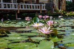 Kwitnący biały i różowy Wodny Lilly w stawie, Bali, Indonezja fotografia stock