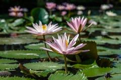Kwitnący biały i różowy Wodny Lilly w stawie, Bali, Indonezja zdjęcia stock