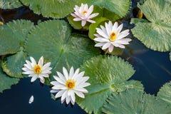 Kwitnący biały i różowy Wodny Lilly w stawie, Bali, Indonezja obrazy stock