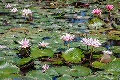 Kwitnący biały i różowy Wodny Lilly w stawie, Bali, Indonezja zdjęcia royalty free