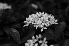 Kwitnący biały ixora, monochrom zdjęcie royalty free