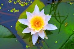 Kwitnący biały lotos i zieleni liście leluja obraz stock
