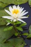 Kwitnący biały lotosowy kwiat Obraz Royalty Free