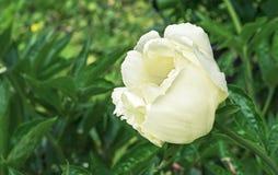 Kwitnący biały peonia Biały peonia w miasto ogródzie zdjęcia royalty free