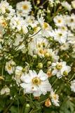 kwitnący biali i kolor żółty kwiaty z zielonymi trzonami obrazy stock