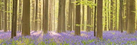 Kwitnący bluebell las w ranku światło słoneczne zdjęcie royalty free