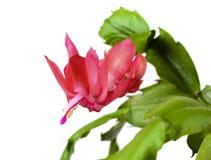Kwitnący Bożenarodzeniowego kaktusa Schlumbergera Fotografia Stock