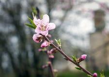Kwitnący brzoskwini drzewo w wiośnie Obrazy Royalty Free
