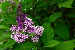 Kwitnący bzy otaczających zielonymi krzakami fotografia stock