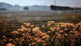 Kwitnący canola zdjęcie royalty free
