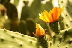 Kwitnący claret filiżanki kaktusa okwitnięcia Obraz Stock