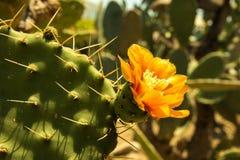 Kwitnący claret filiżanki kaktusa okwitnięcia Fotografia Royalty Free