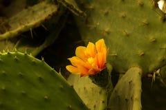 Kwitnący claret filiżanki kaktusa okwitnięcia Zdjęcie Royalty Free