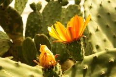 Kwitnący claret filiżanki kaktusa okwitnięcia Obrazy Stock