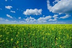 Kwitnący colzafield pod niebieskim niebem z białymi chmurami obraz stock