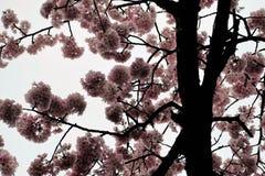 Kwitnący czereśniowego drzewa tło Obraz Royalty Free