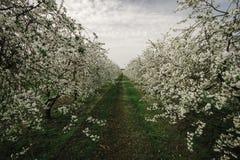 kwitnący czereśniowi drzewa Zdjęcie Royalty Free