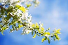 Kwitnący czereśniowi drzewa na wiośnie zdjęcie stock