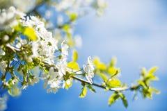 Kwitnący czereśniowi drzewa na wiośnie fotografia stock