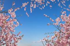 Kwitnący czereśniowi drzewa, widok od dna up Fotografia Royalty Free