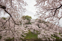 Kwitnący czereśniowi okwitnięcia nalewa w Chidorigafuchi fosę, Chiyoda, Tokio, Japonia w wiośnie Fotografia Stock