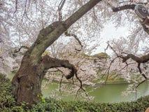 Kwitnący czereśniowi okwitnięcia nalewa w Chidorigafuchi fosę, Chiyoda, Tokio, Japonia w wiośnie Obraz Stock